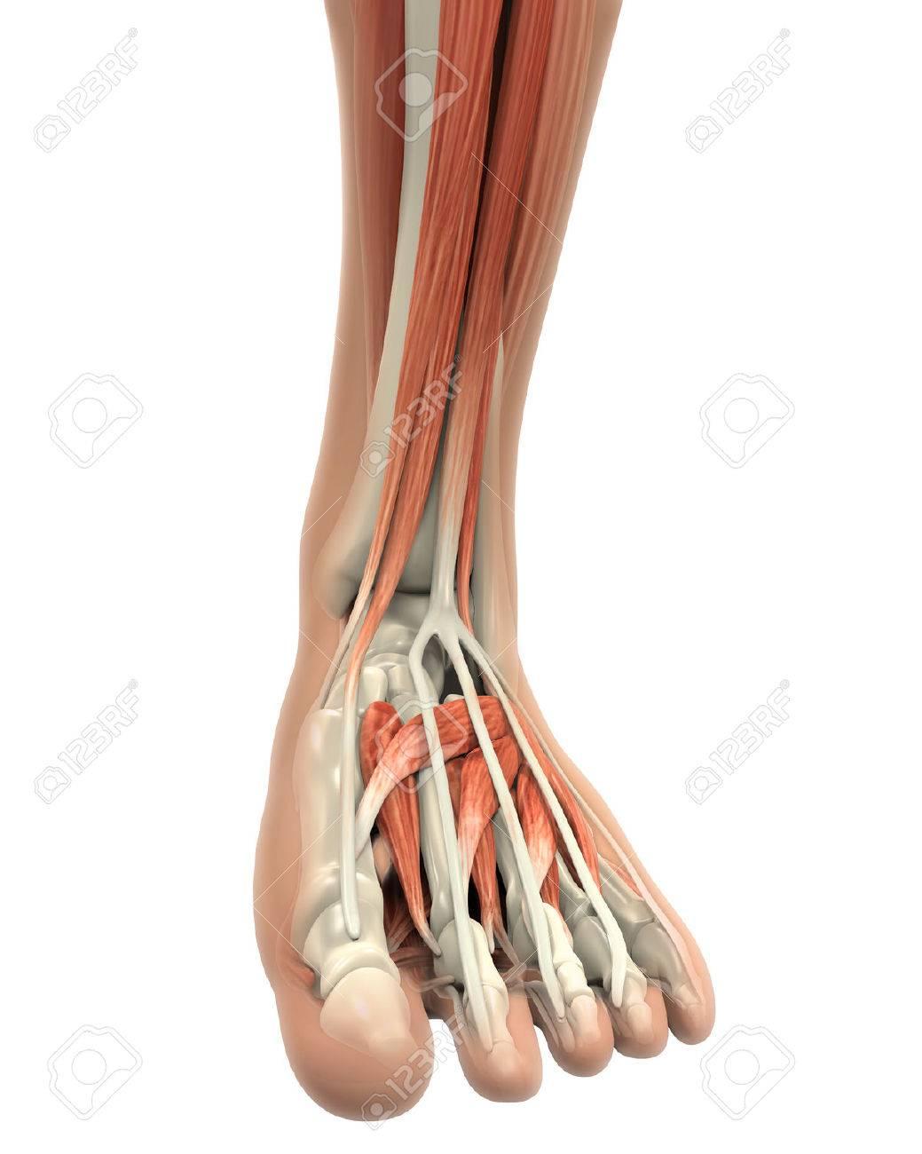 Menschlicher Fuß Muskeln Anatomie Lizenzfreie Fotos, Bilder Und ...