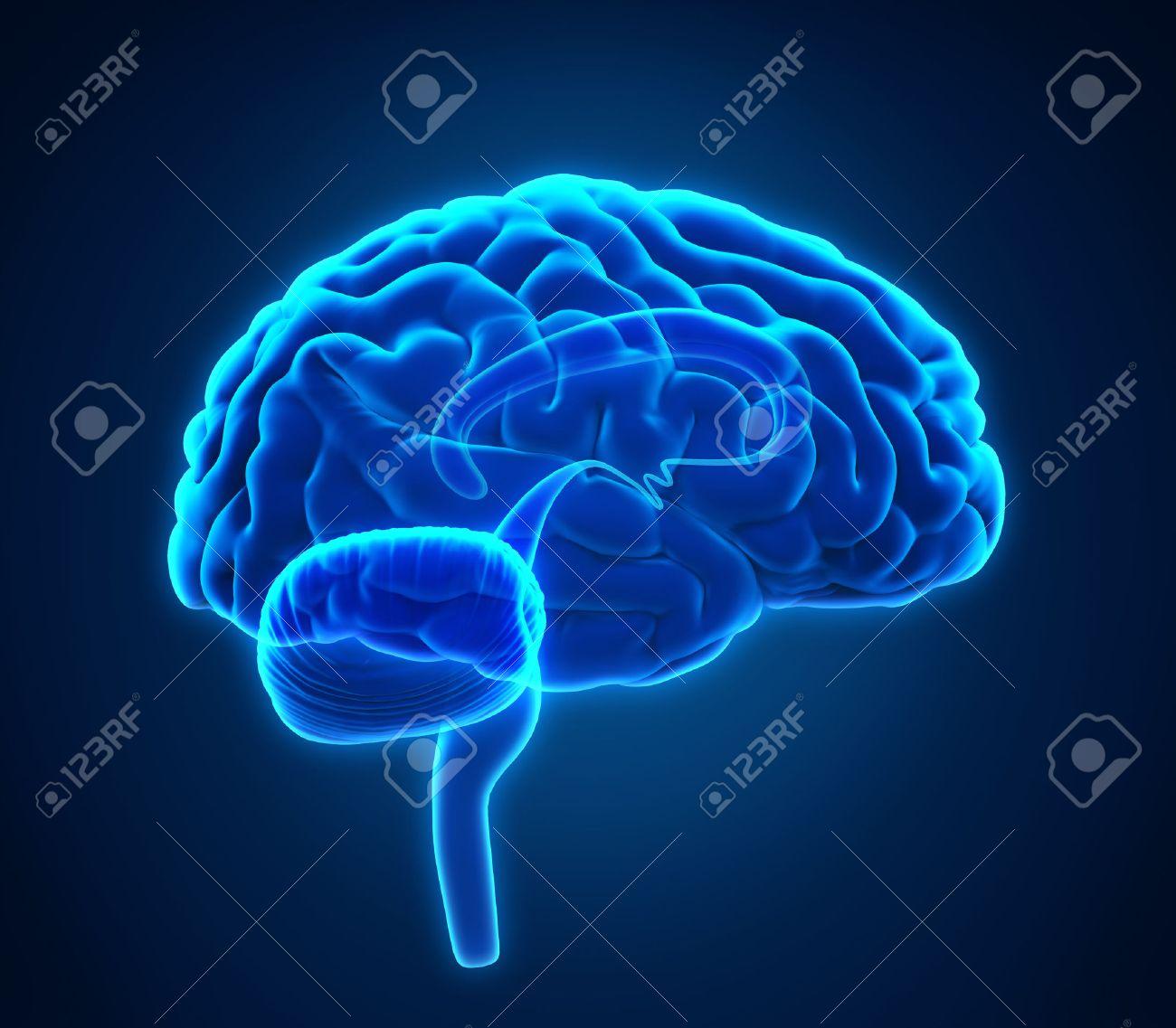 Anatomía Del Cerebro Humano Fotos, Retratos, Imágenes Y Fotografía ...