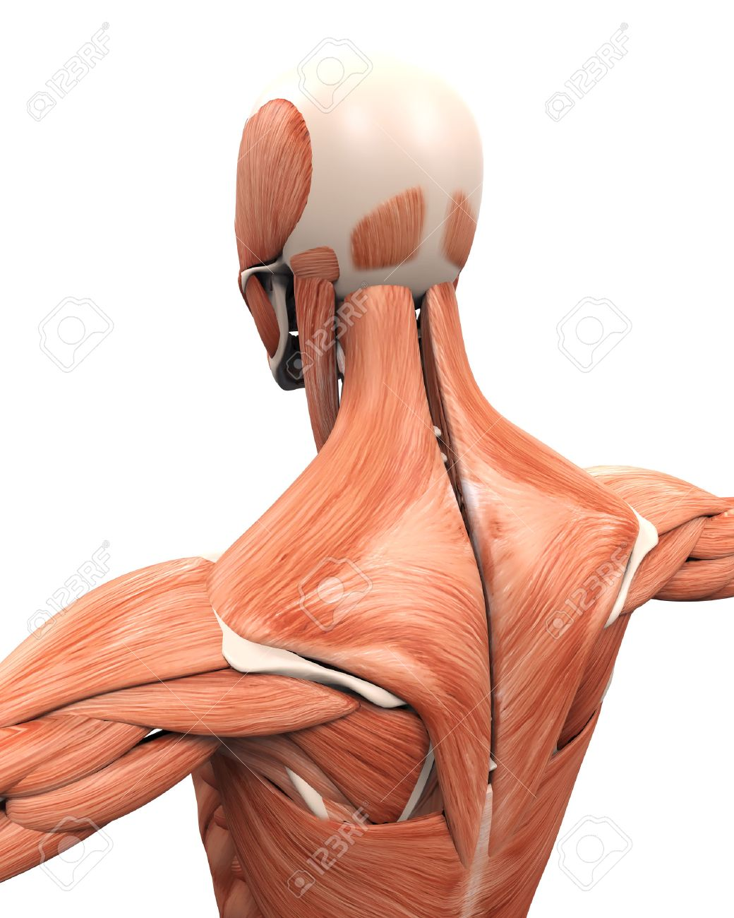 Muscular Anatomy Of The Back Stock Photo, Picture And Royalty Free ...