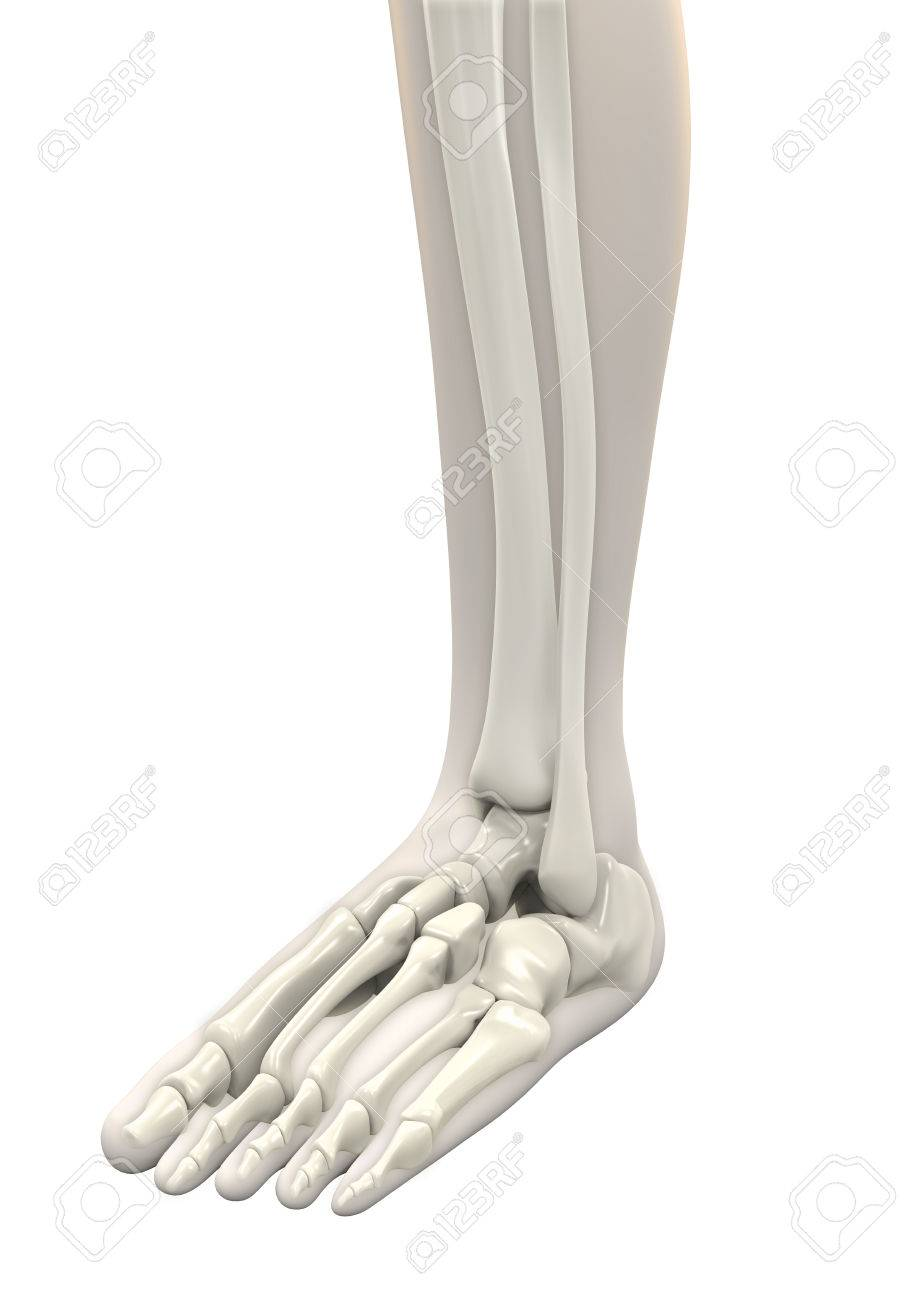 Human Foot Anatomy Stock Photo, Picture And Royalty Free Image ...