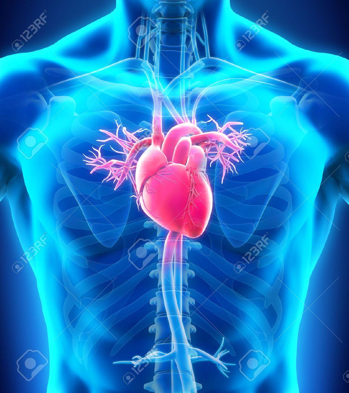 Anatomía Del Corazón Humano Fotos, Retratos, Imágenes Y Fotografía ...