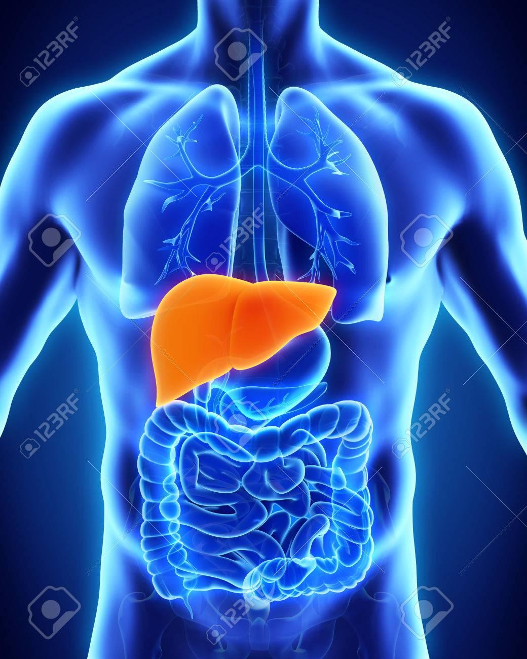 Anatomía De Hígado Humano Fotos, Retratos, Imágenes Y Fotografía De ...