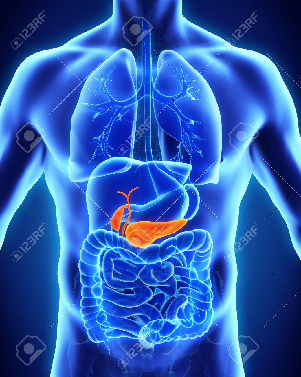 La Vesícula Biliar Y Páncreas Anatomía Humana Fotos, Retratos ...
