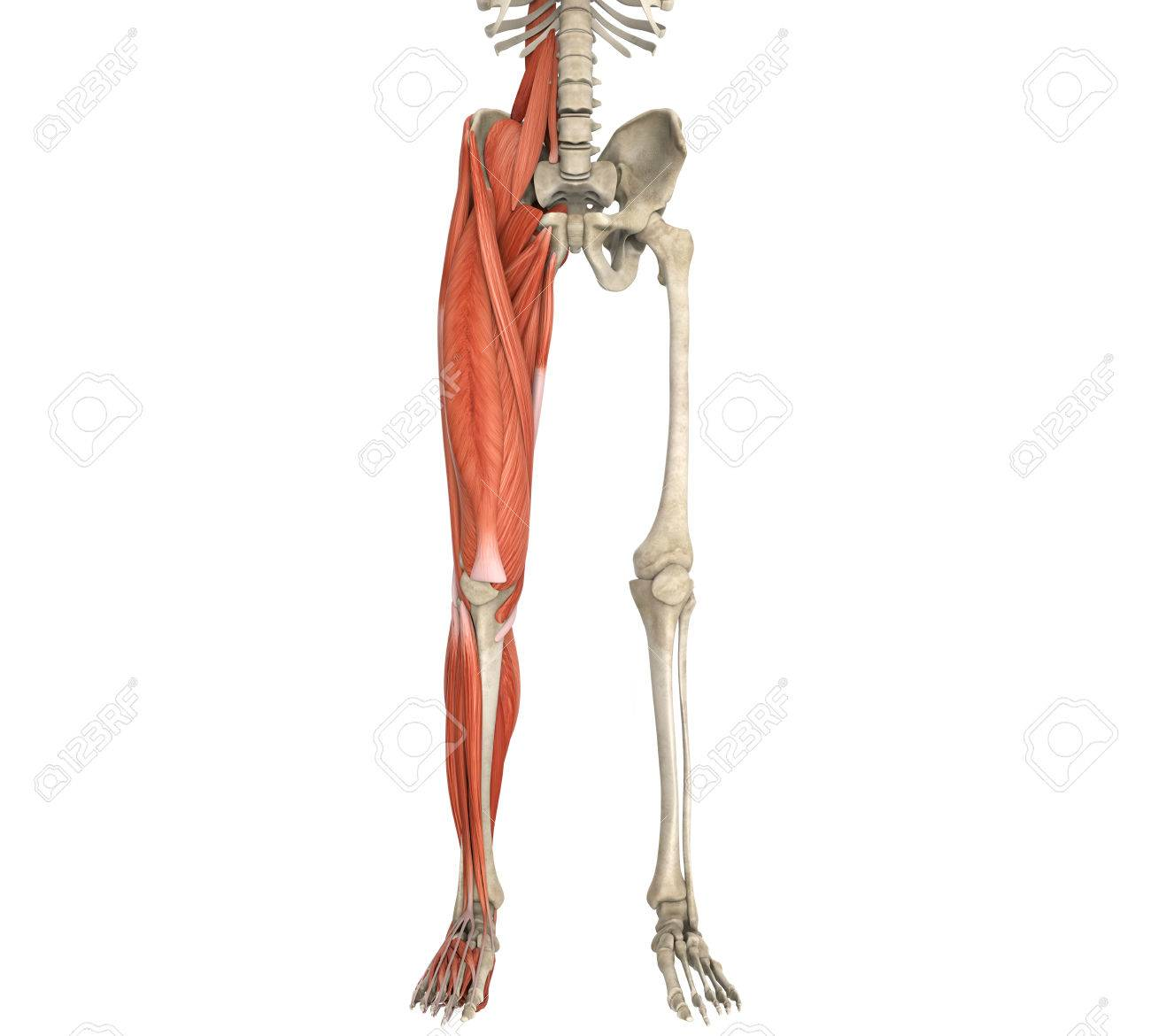 Legs Muscles Anatomy Stock Photo Picture And Royalty Free Image