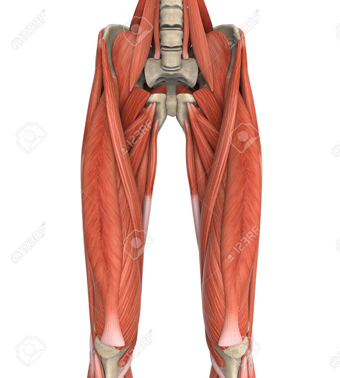 Upper Legs Muscles Anatomy Stock Photo, Picture And Royalty Free ...