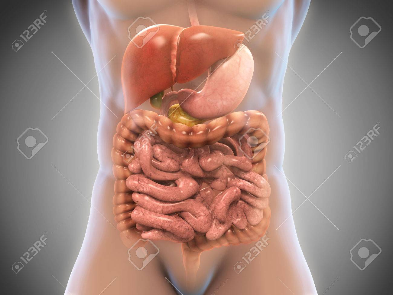 Human digestive system stock photo picture and royalty free image human digestive system ccuart Images