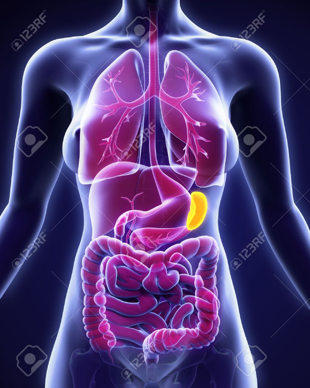 Human Spleen Anatomy Stock Photo, Picture And Royalty Free Image ...