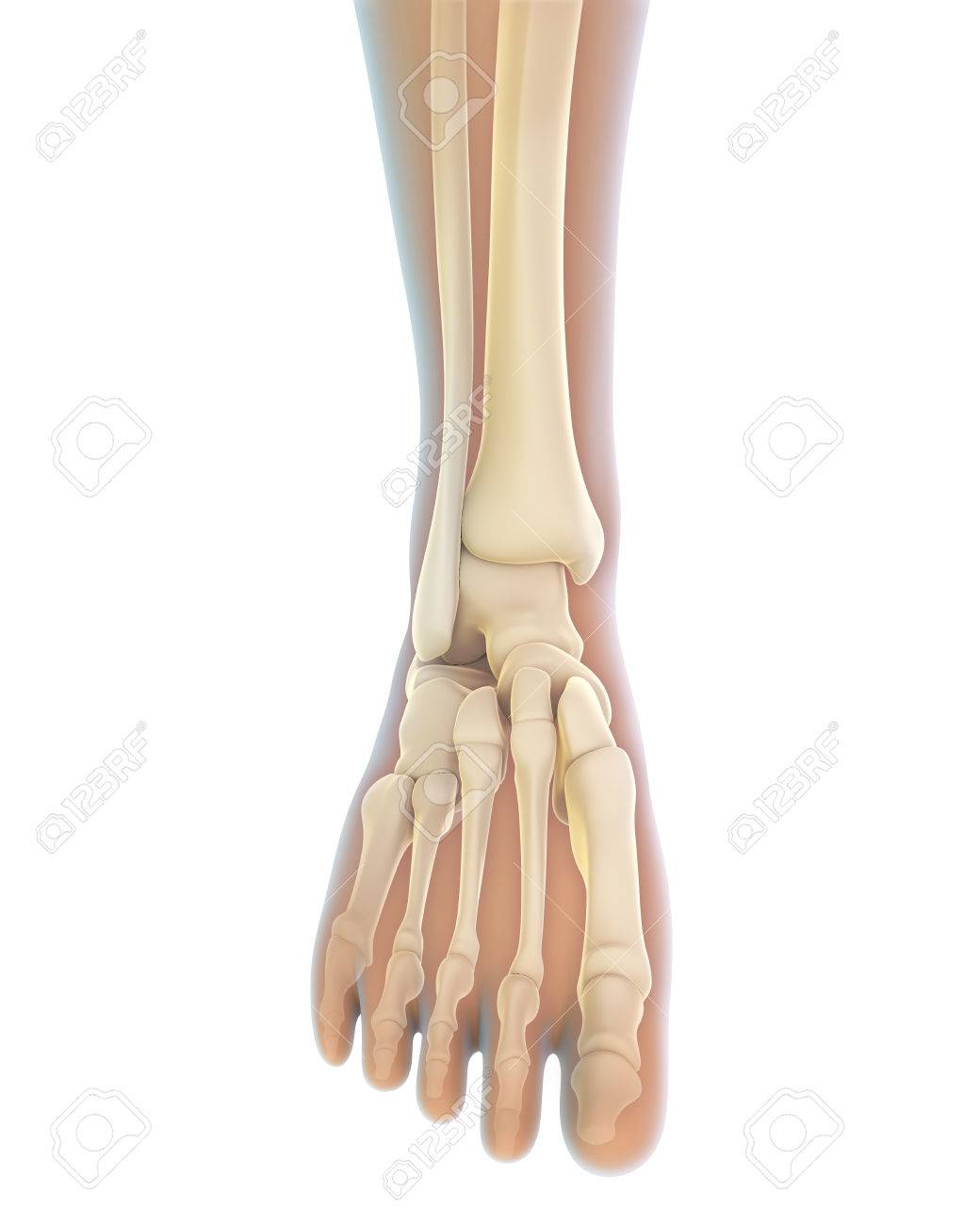 Human Foot Anatomy Stock Photo Picture And Royalty Free Image
