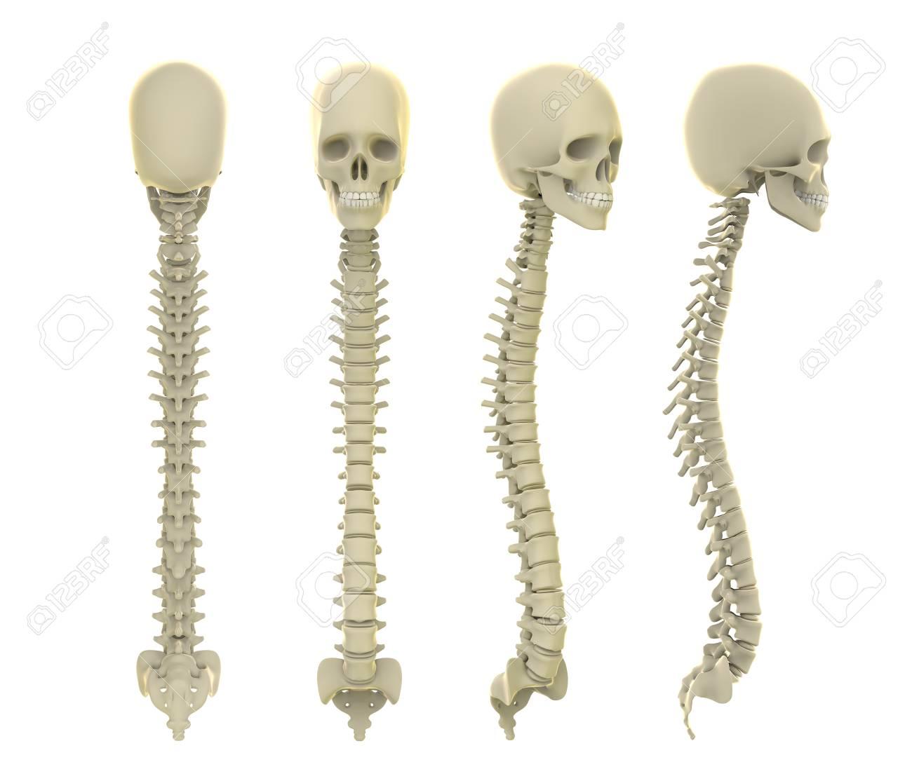 El Cráneo Y La Columna Vertebral Anatomía Fotos, Retratos, Imágenes ...