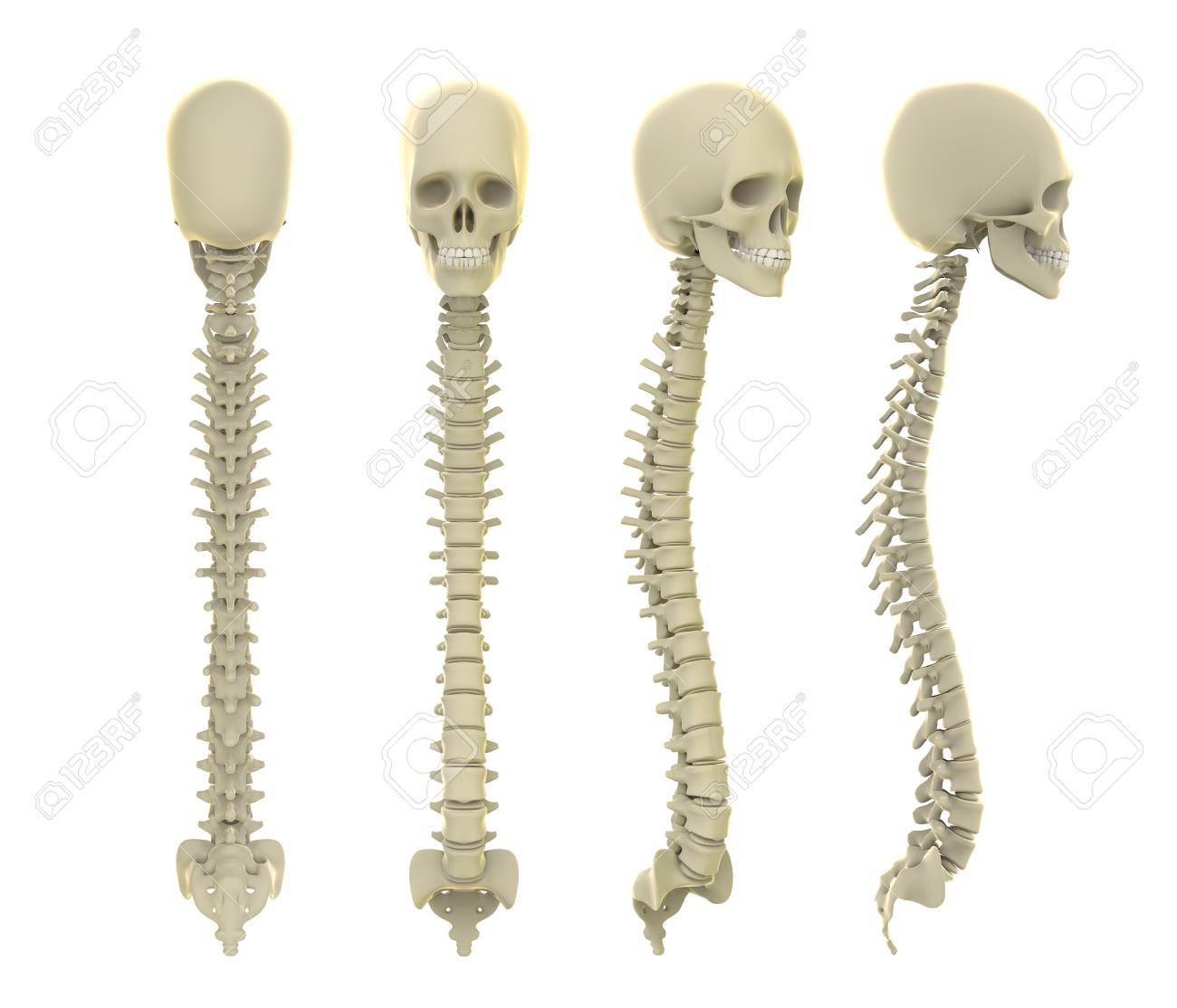Skull And Spine Anatomy Stock Photo, Picture And Royalty Free Image ...