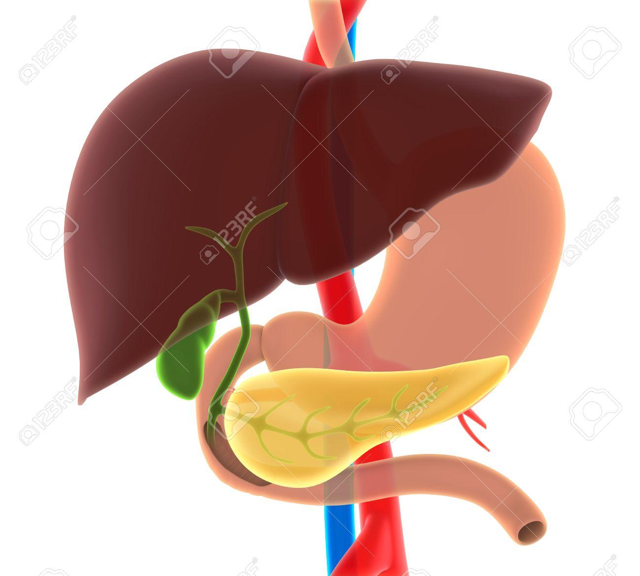 Hígado, Vesícula Biliar Y Páncreas Anatomía Fotos, Retratos ...