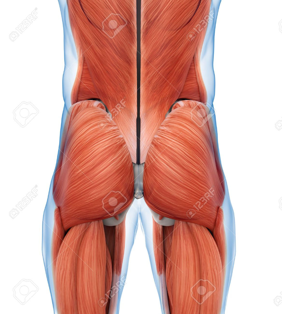Buttock Muscles Anatomy Stock Photo, Picture And Royalty Free Image ...