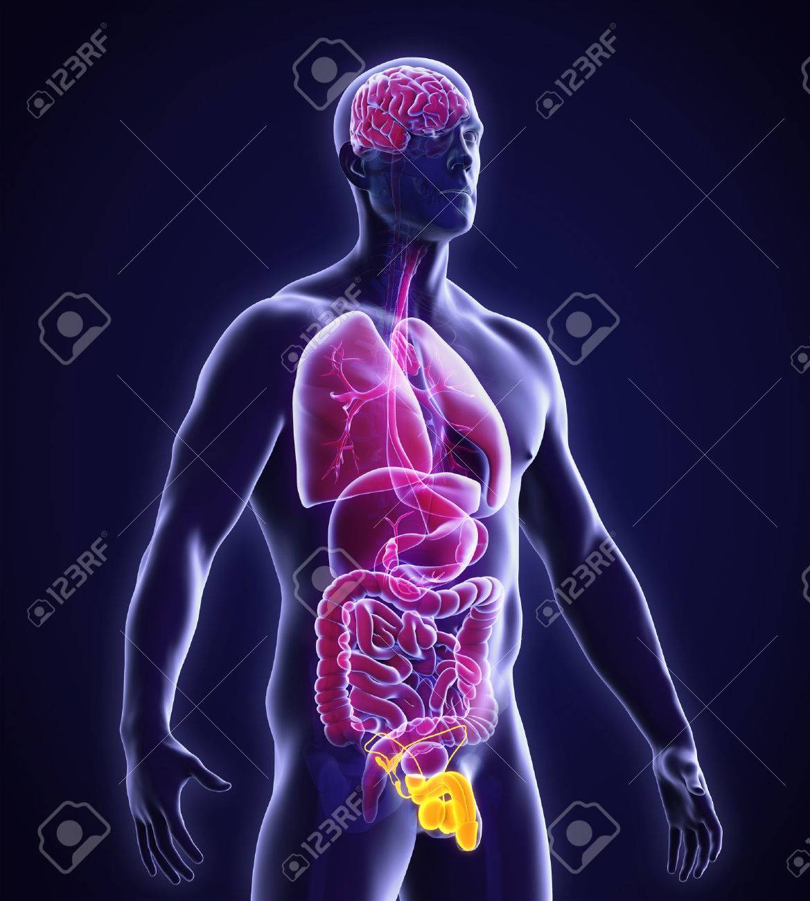 Male Reproductive System Anatomy Stock Photo, Picture And Royalty ...