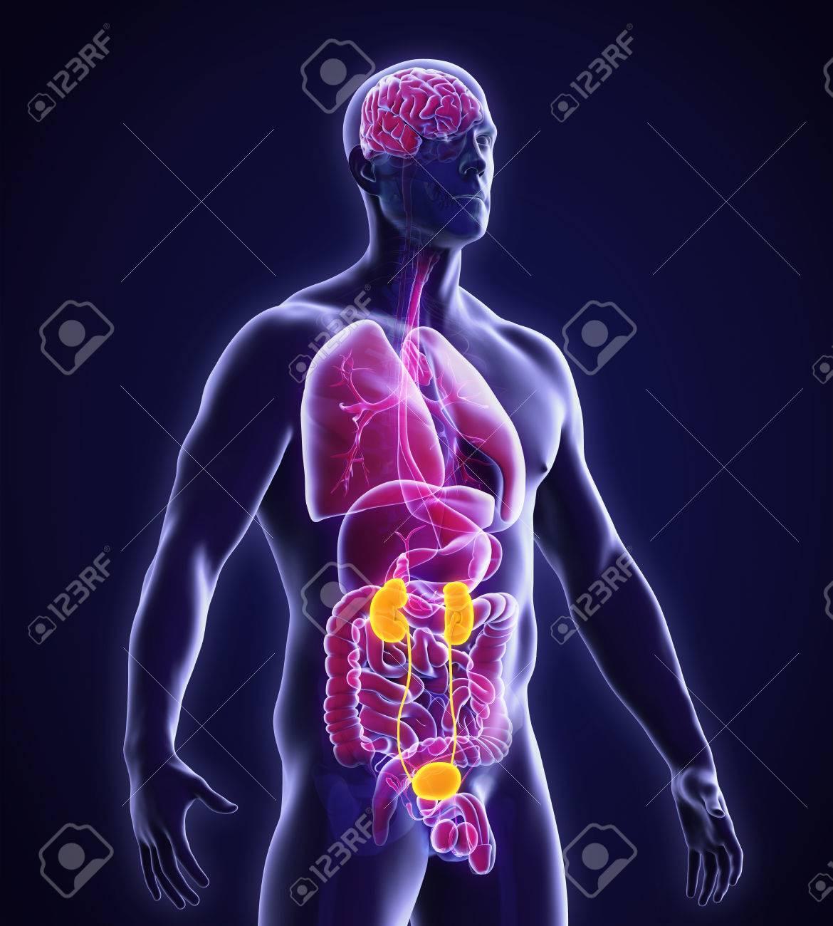 Riñones Humanos Anatomía Fotos, Retratos, Imágenes Y Fotografía De ...