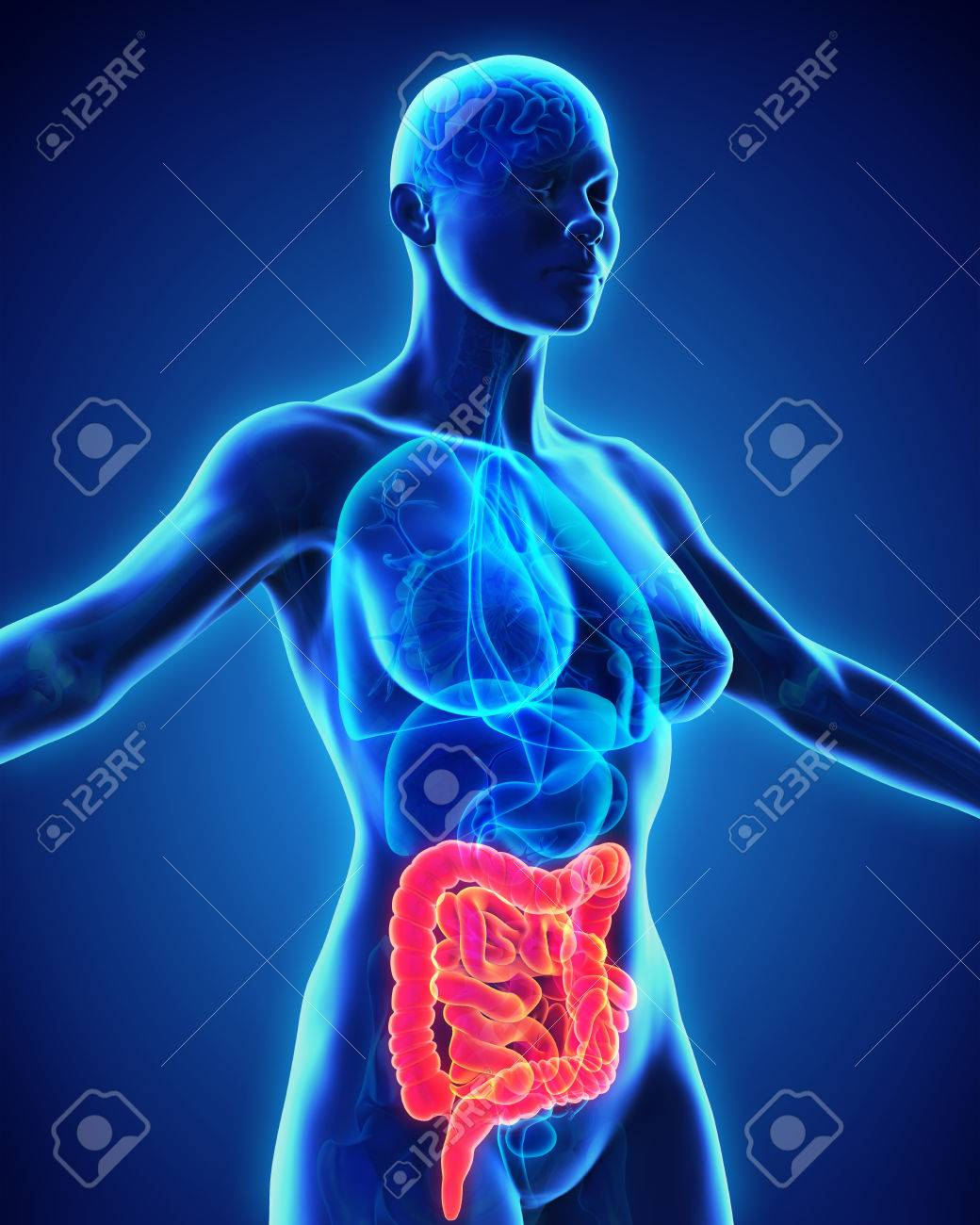 Human Intestine Anatomy Stock Photo Picture And Royalty Free Image