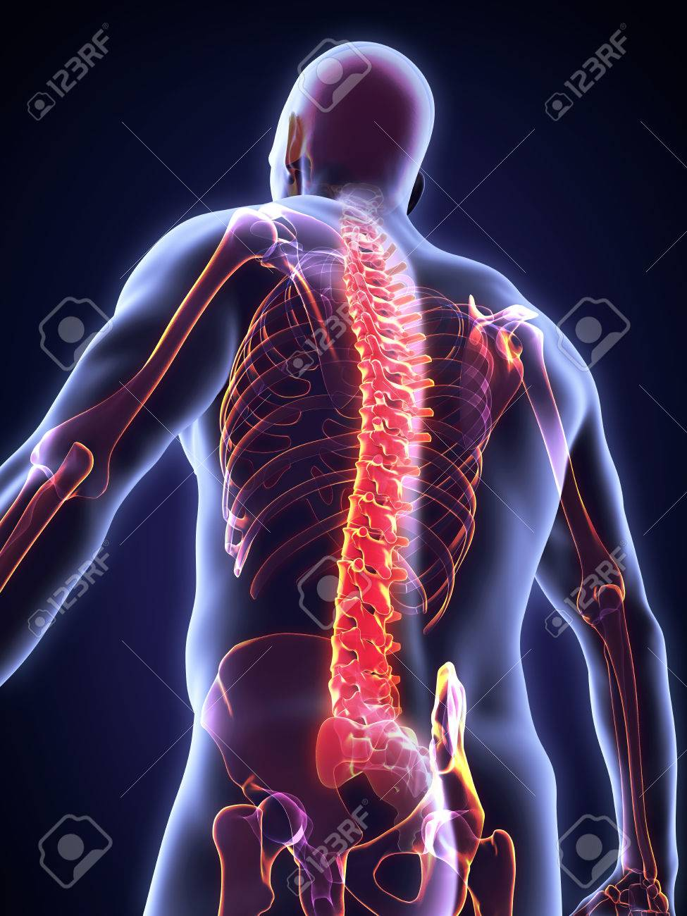 Human Male Spine Anatomy Stock Photo, Picture And Royalty Free Image ...