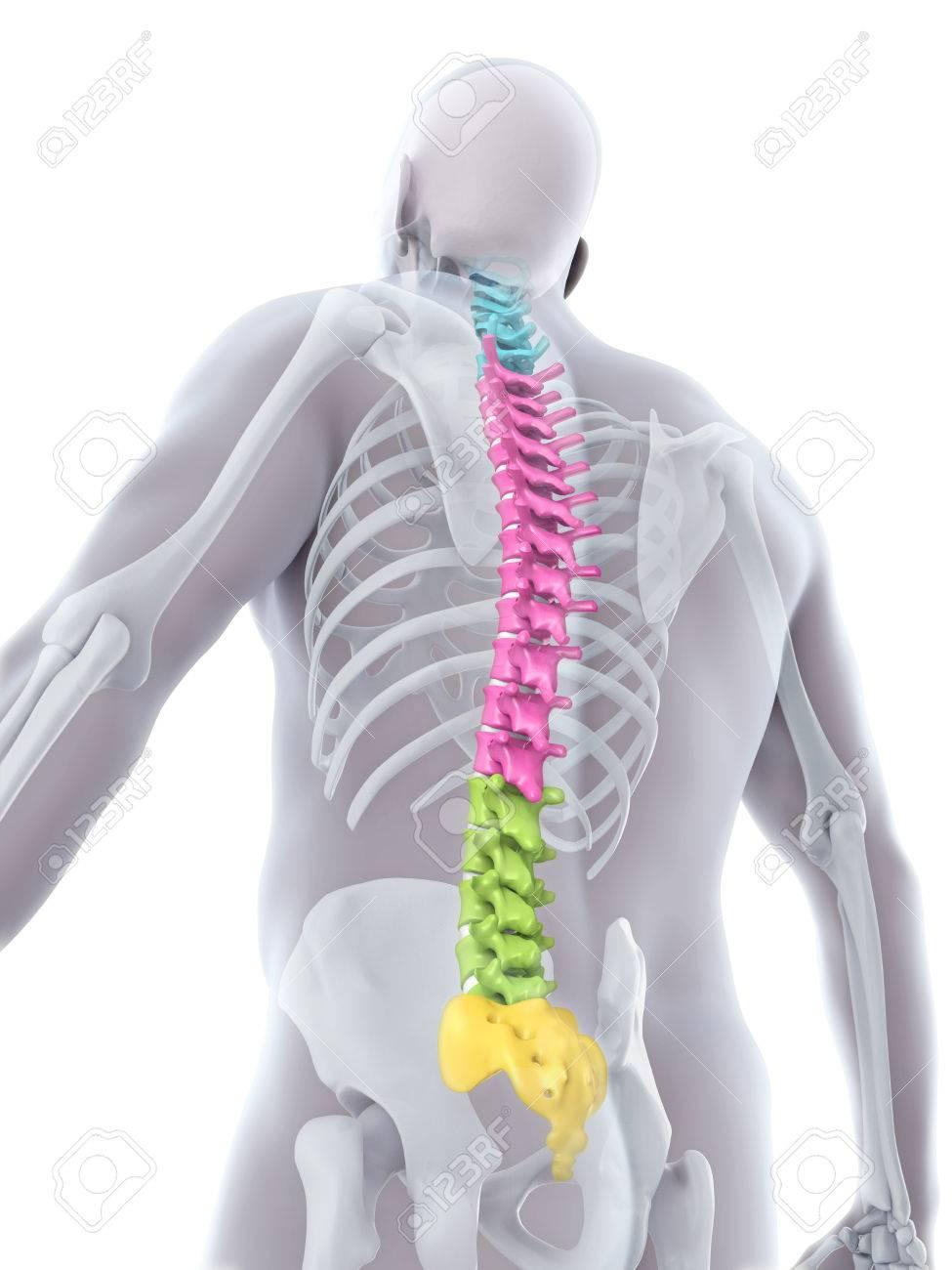 Menschliche Männliche Anatomie Der Wirbelsäule Lizenzfreie Fotos ...