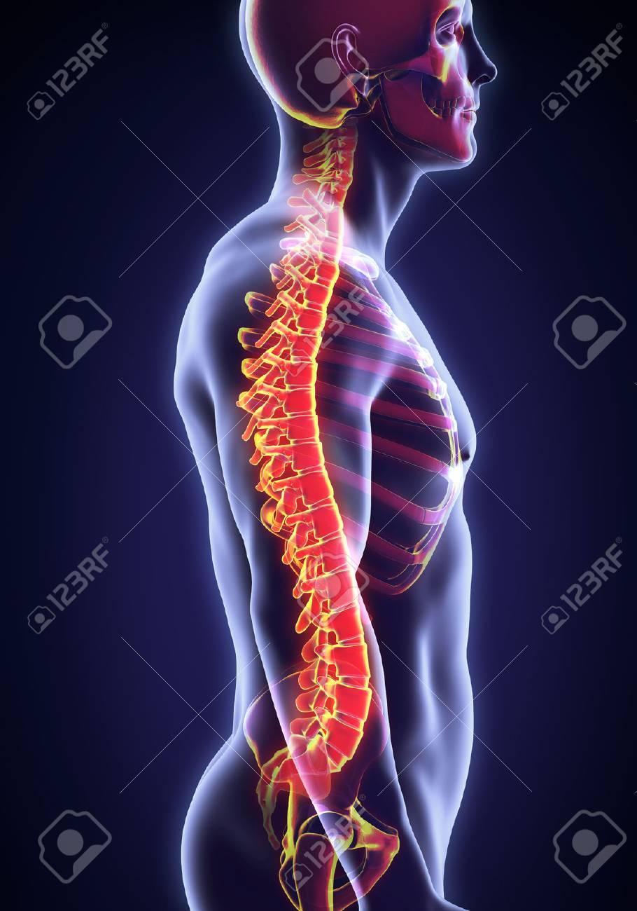 Human Male Spine Anatomy - 51125486