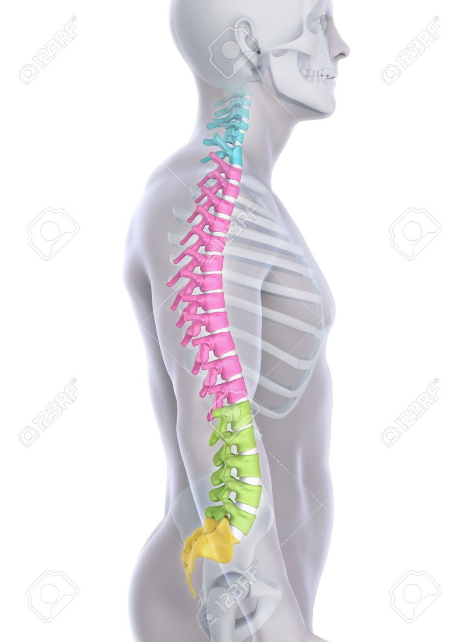 Human Male Spine Anatomy Stock Photo Picture And Royalty Free Image