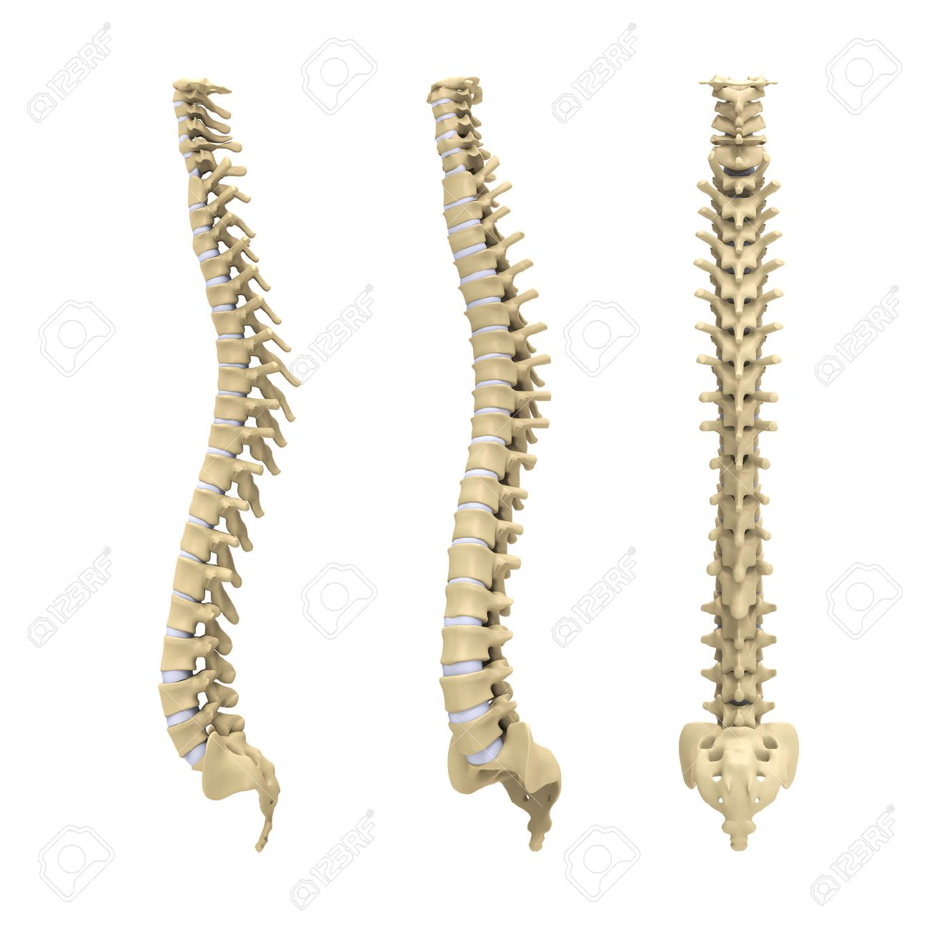 Spinal Cord Stock Photos Royalty Free Spinal Cord Images