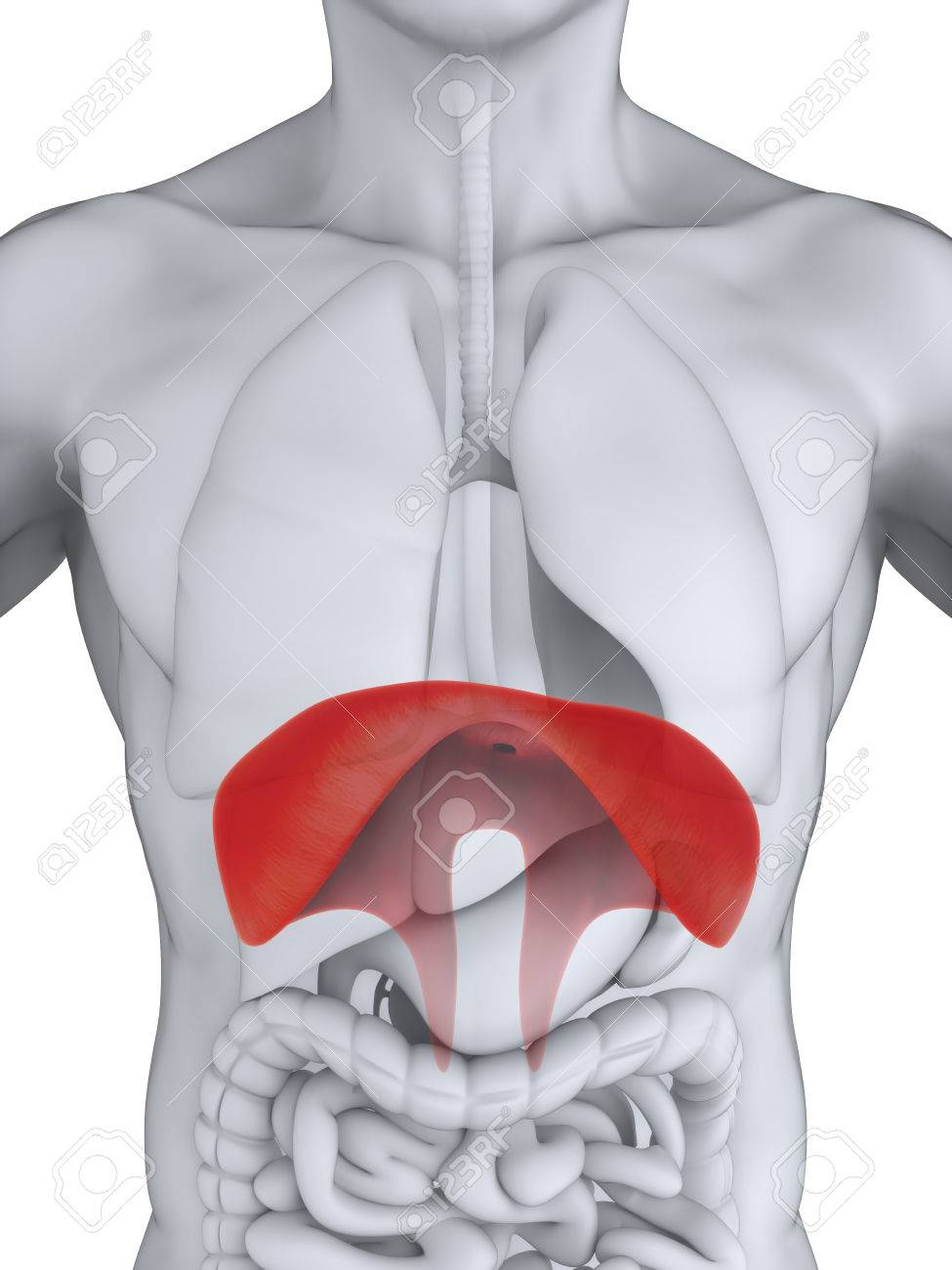 Human Diaphragm Anatomy Stock Photo Picture And Royalty Free Image