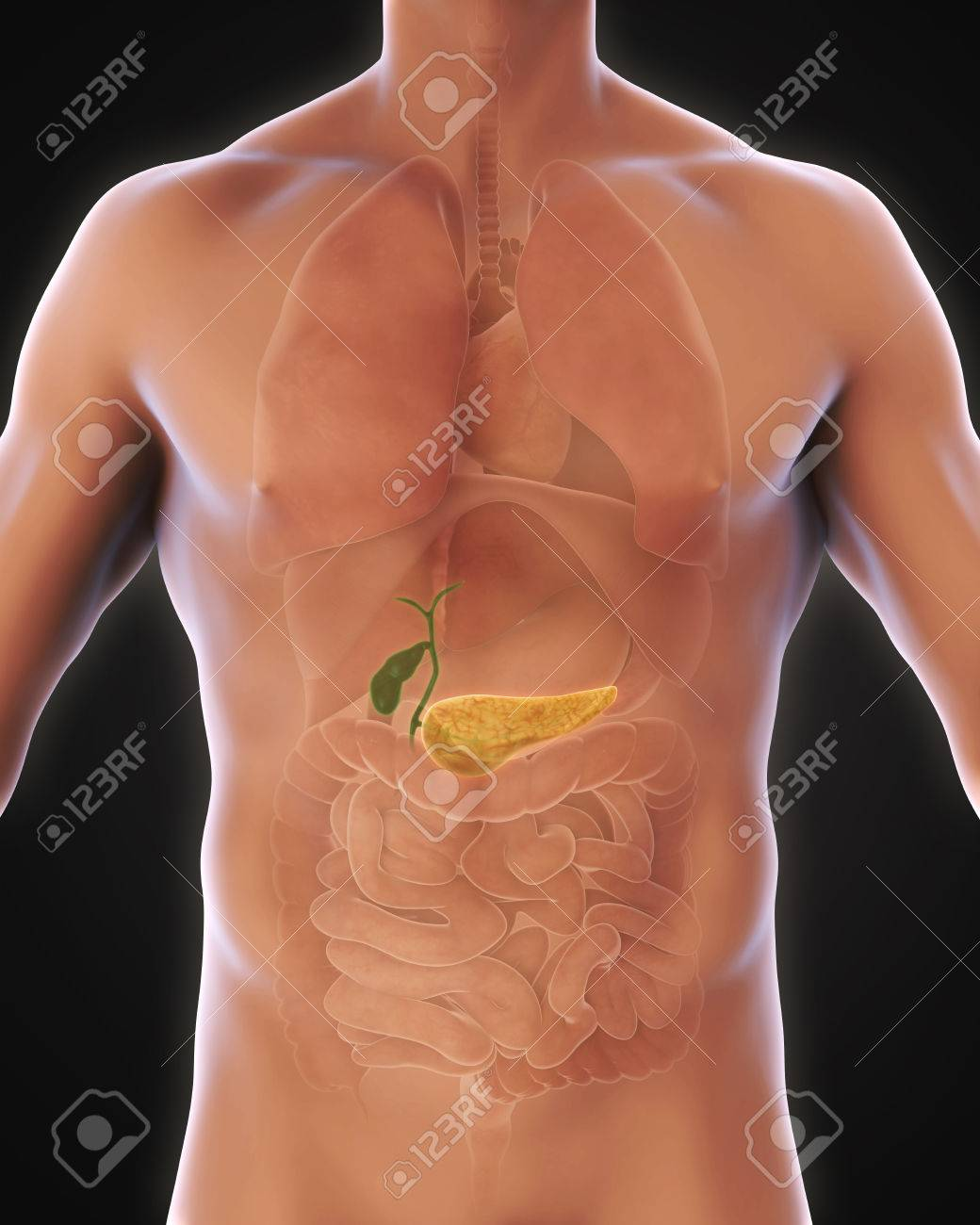 Human Gallbladder And Pancreas Anatomy Stock Photo, Picture And ...