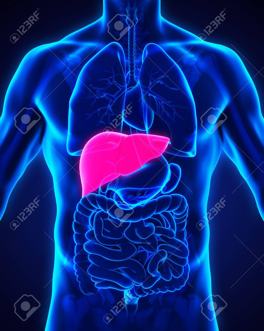 Anatomía Del Hígado Humano Fotos, Retratos, Imágenes Y Fotografía De ...