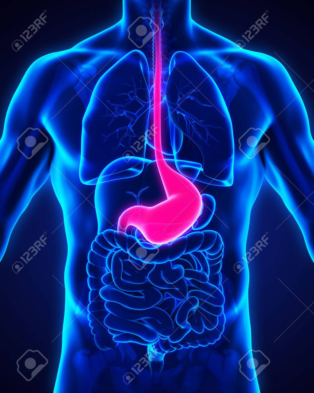 Human Stomach Anatomy Stock Photo Picture And Royalty Free Image