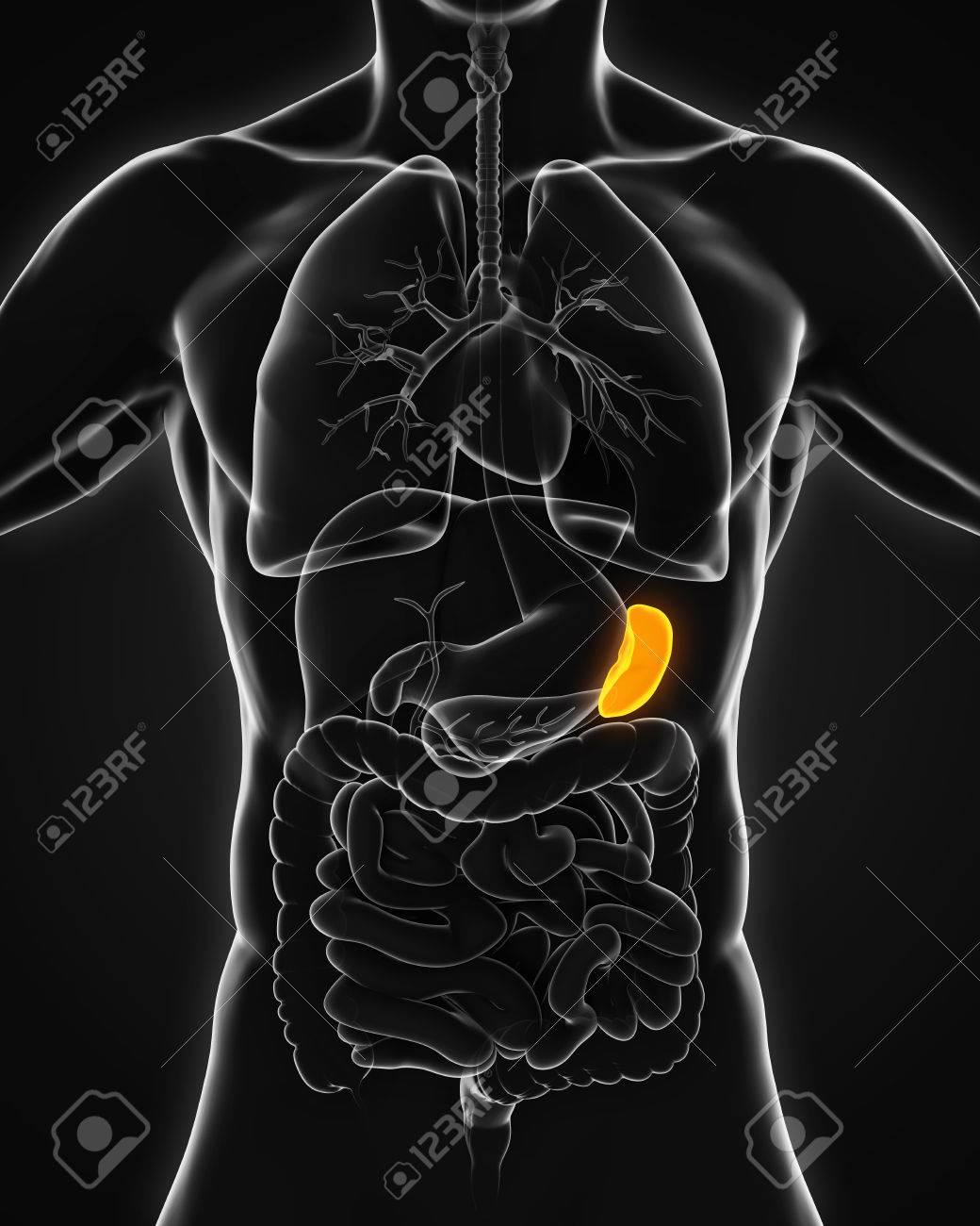 Anatomía De Bazo Humano Fotos, Retratos, Imágenes Y Fotografía De ...