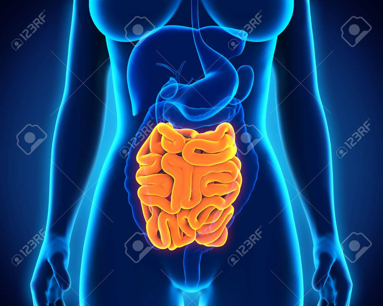 Human Small Intestine Anatomy Stock Photo Picture And Royalty Free