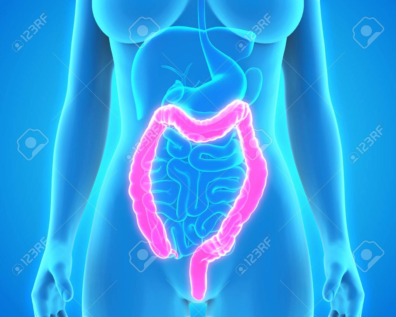 Human Colon Anatomy Stock Photo Picture And Royalty Free Image