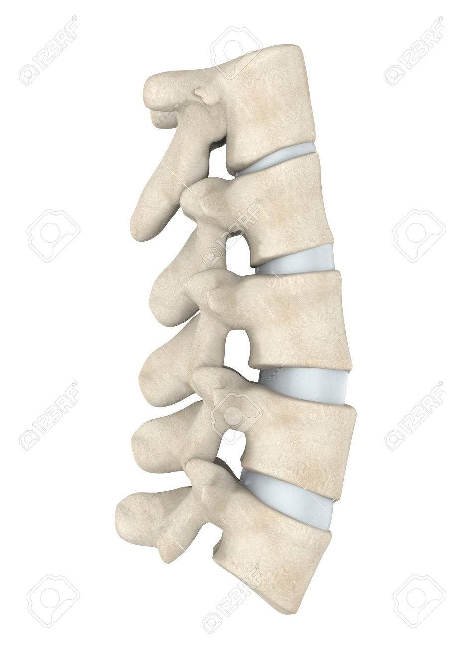 Human Lumbar Spine Anatomy Isolated Stock Photo Picture And Royalty