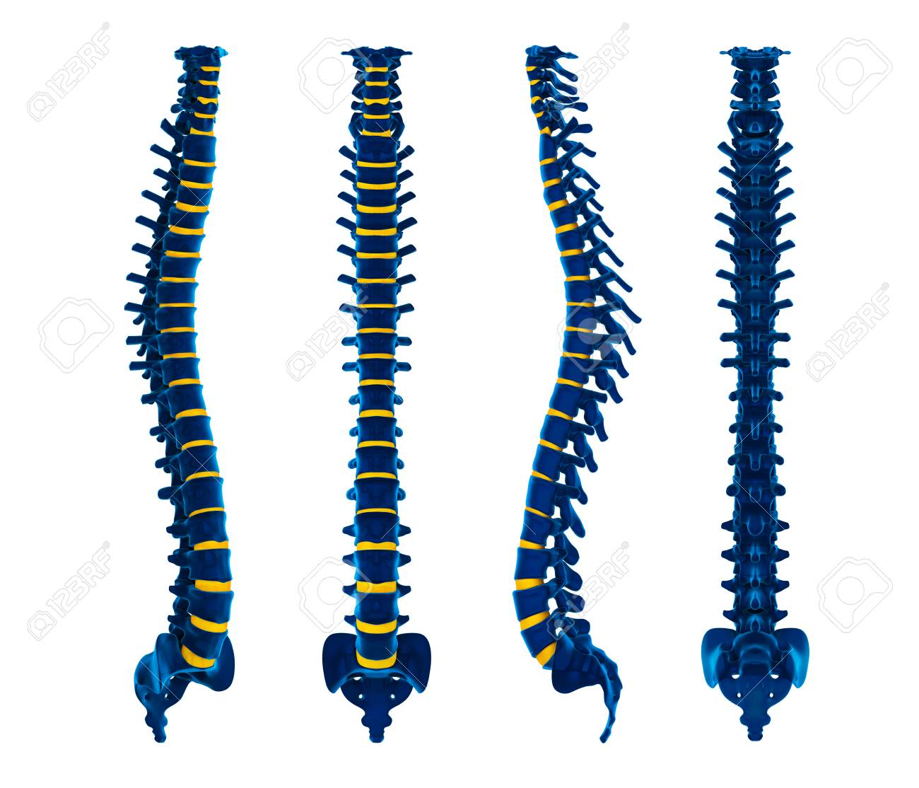 Human Spine Anatomy Stock Photo, Picture And Royalty Free Image ...