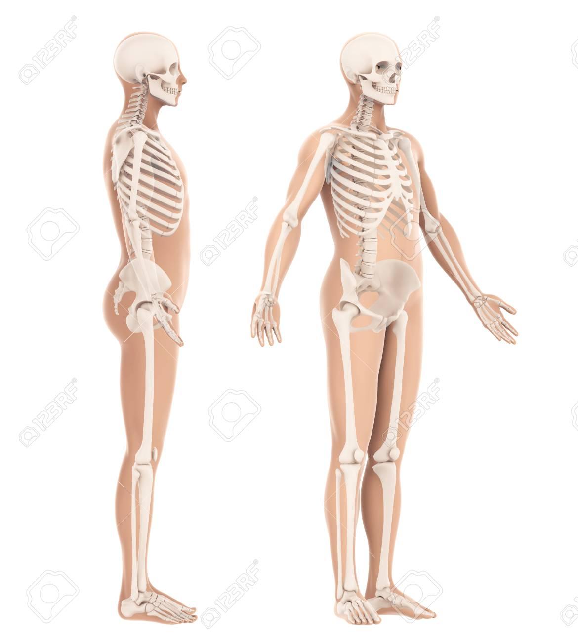 Anatomía Del Esqueleto Humano Aislada Fotos, Retratos, Imágenes Y ...