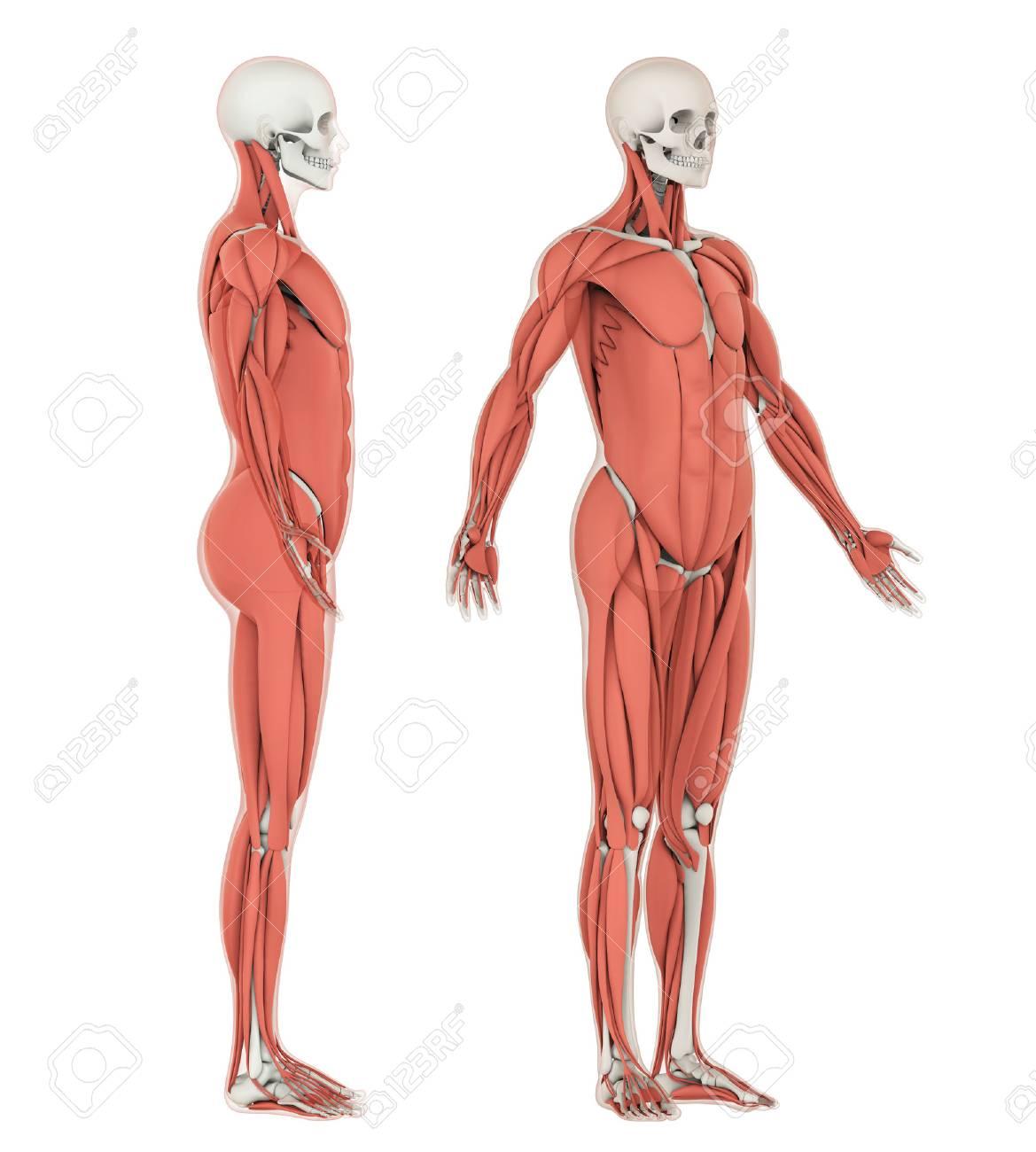 Esqueleto Humano Y Anatomía Muscular Aislada Fotos, Retratos ...
