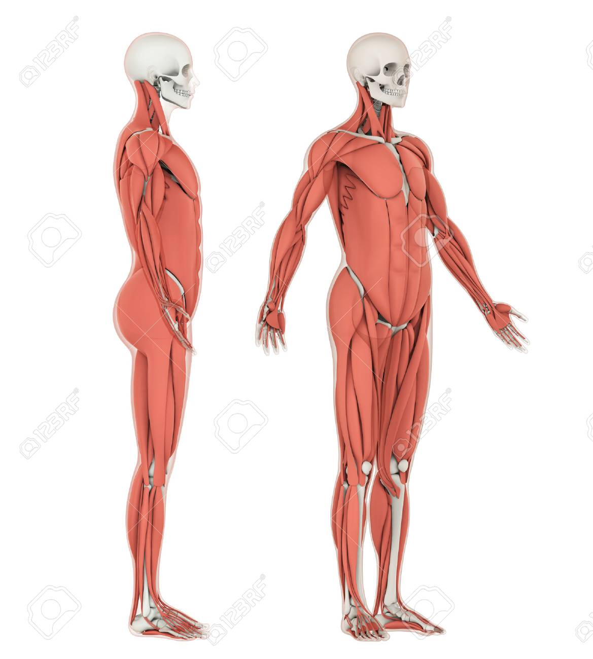 Human Skeleton And Muscle Anatomy Isolated Stock Photo, Picture And ...