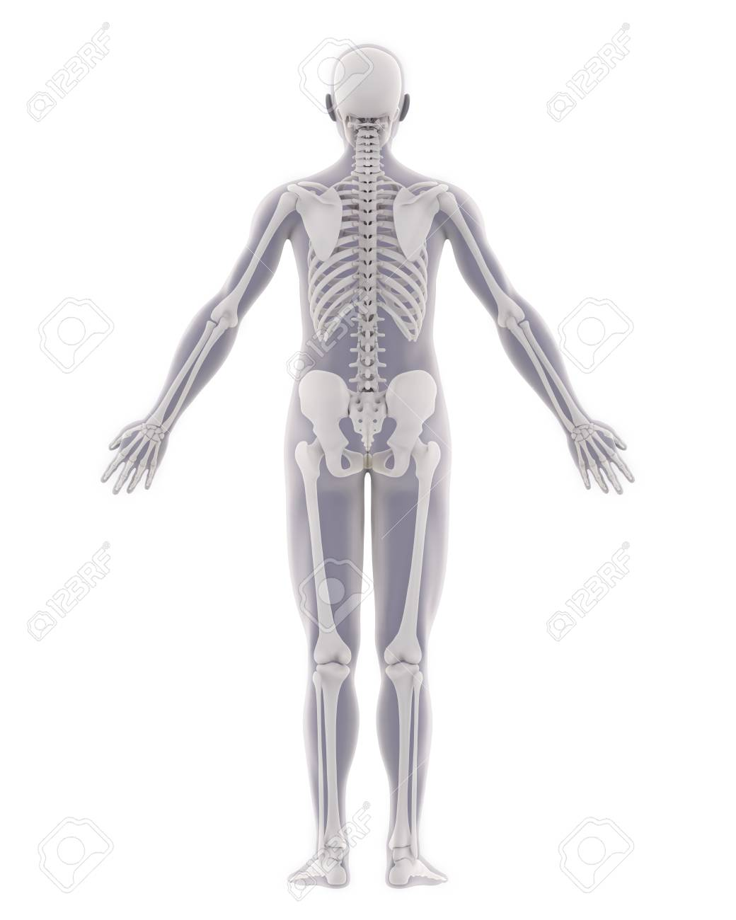 Wonderbaar Human Skeleton Anatomy Isolated Stock Photo, Picture And Royalty CZ-66