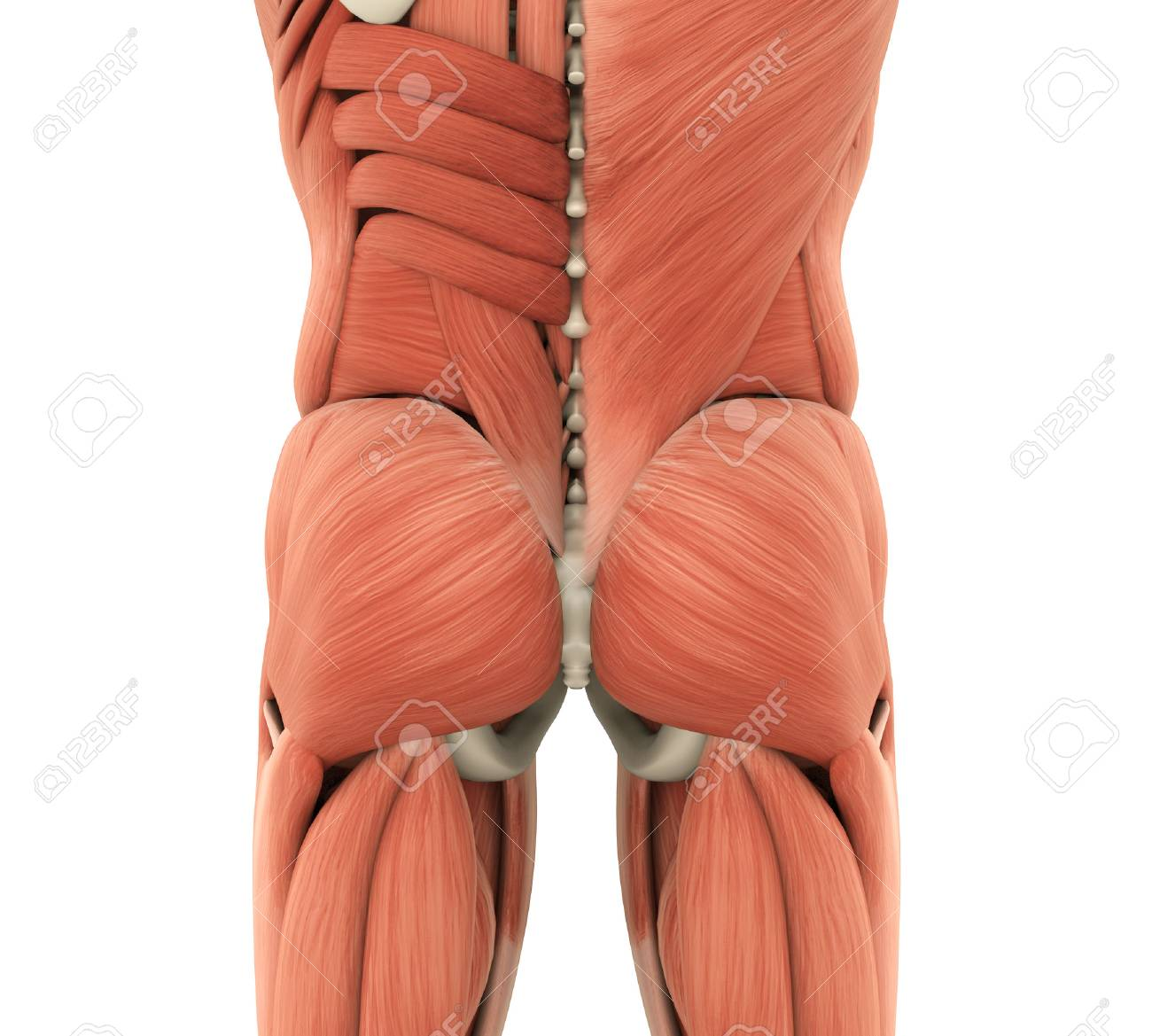 Human Gluteal Muscles Anatomy Stock Photo, Picture And Royalty Free ...