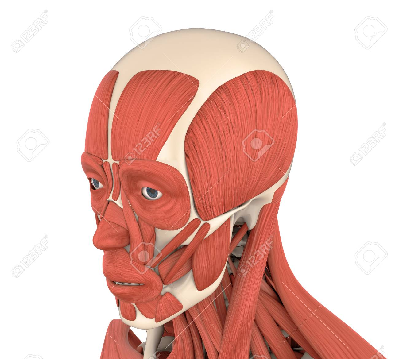Human Facial Muscles Anatomy Stock Photo Picture And Royalty Free