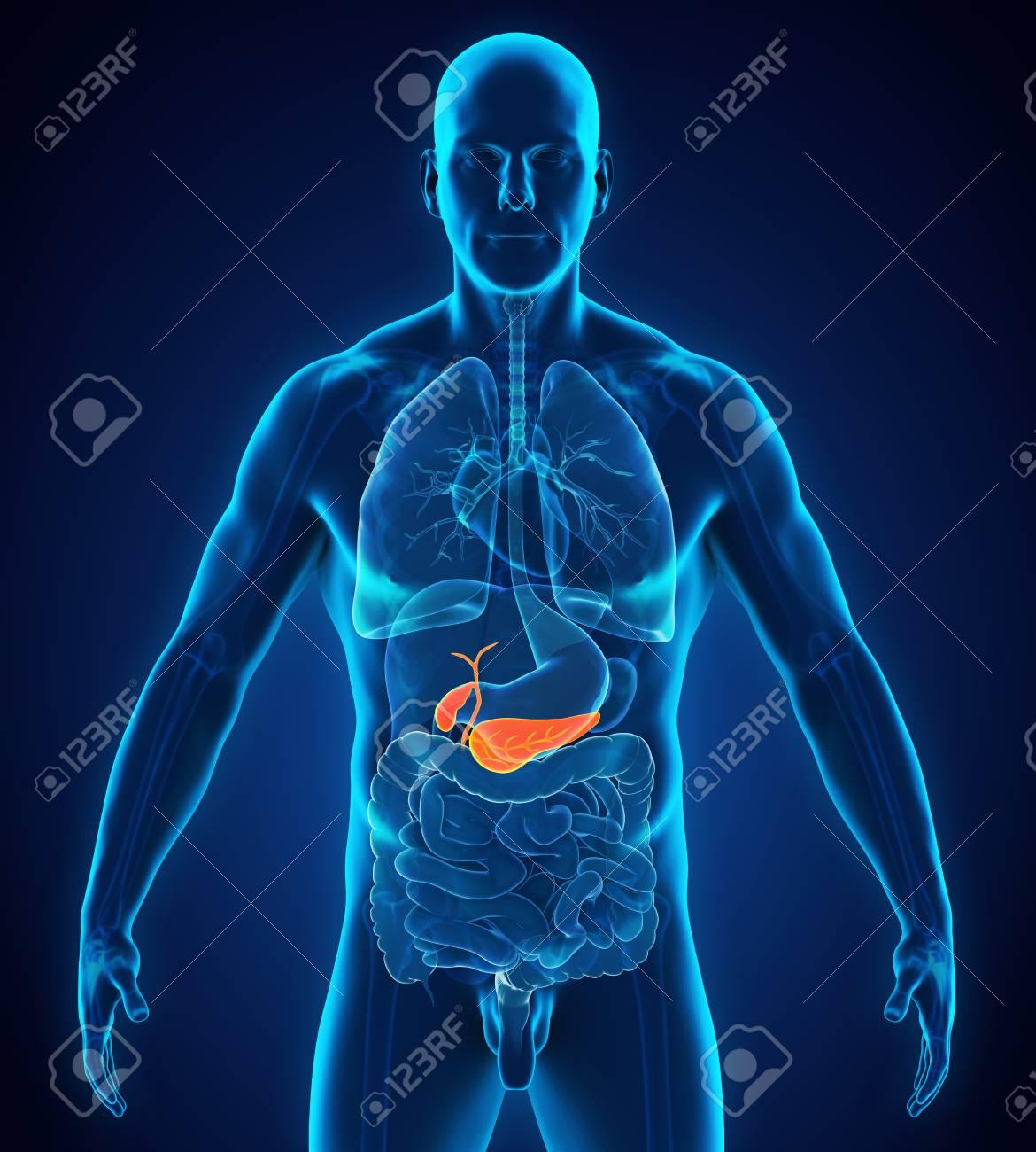 Vesícula Biliar Humana Y Anatomía Del Páncreas Fotos, Retratos ...