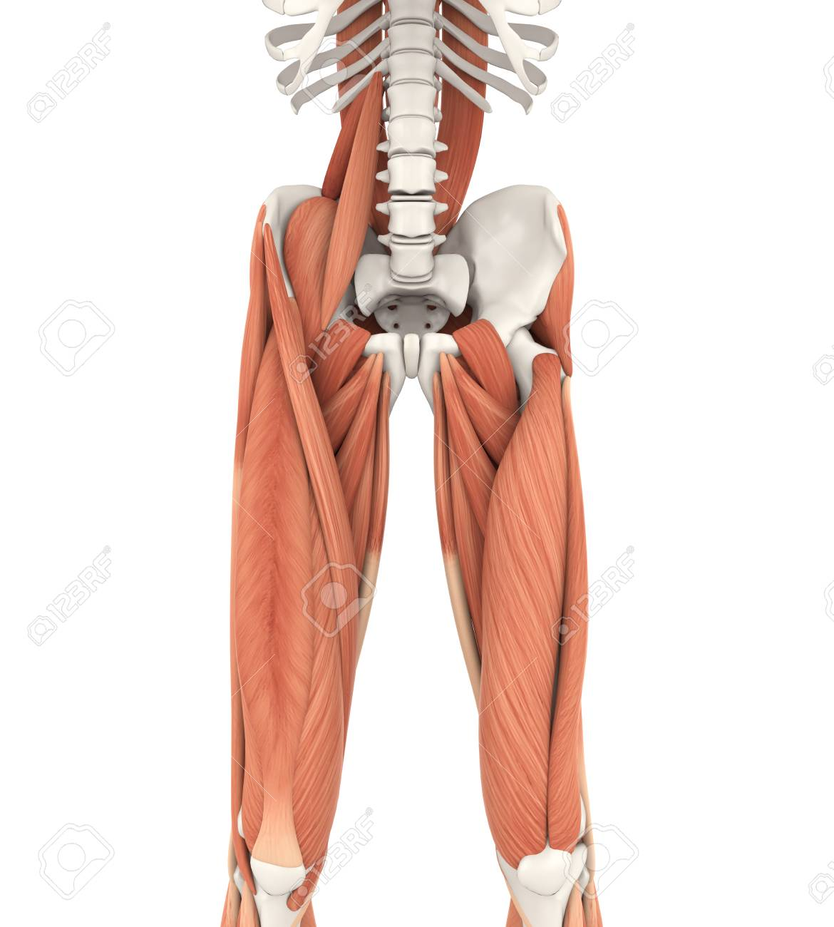 Anatomía De Los Músculos De Las Piernas Y Del Muslo Fotos, Retratos ...