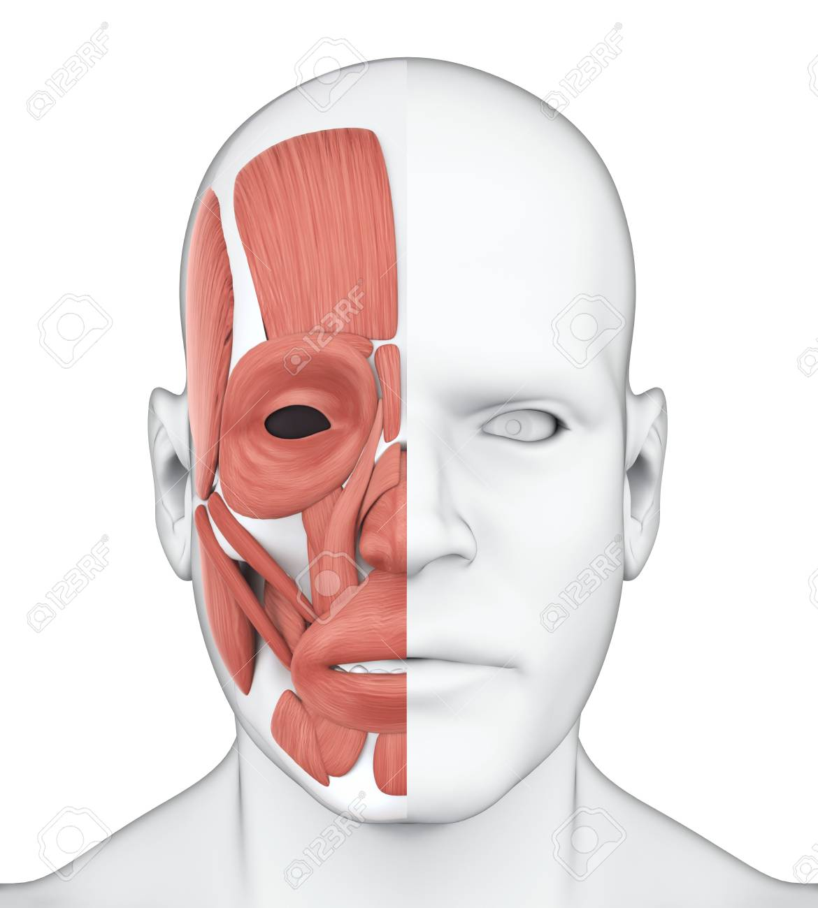 Human Facial Muscles Anatomy Stock Photo, Picture And Royalty Free ...