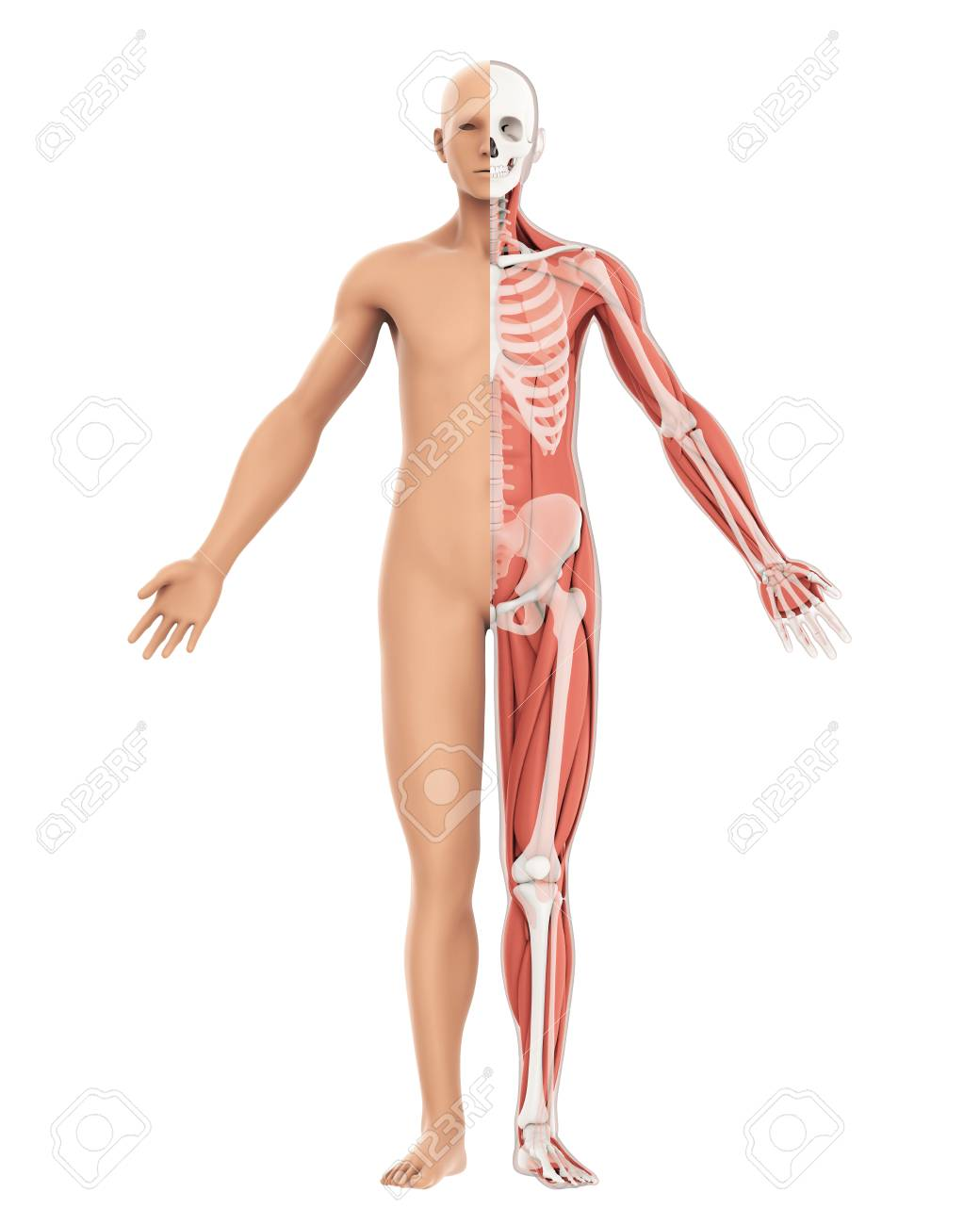 Human Body Amd Skeleton Anatomy Isolated Stock Photo Picture And