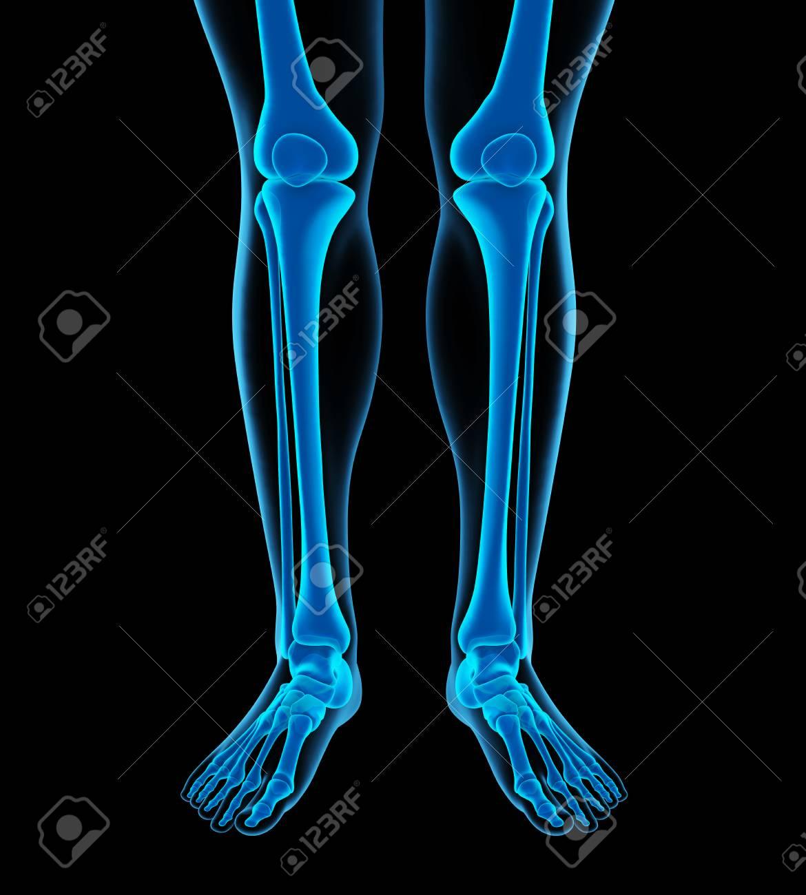 Human Leg Bones Anatomy Stock Photo Picture And Royalty Free Image