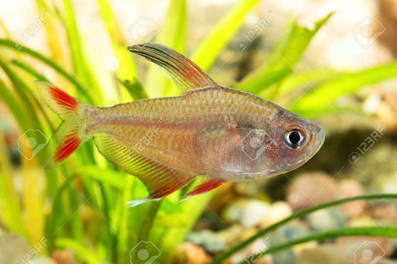 Modern Colored Tetra Fish Inspiration   Coloring Page .