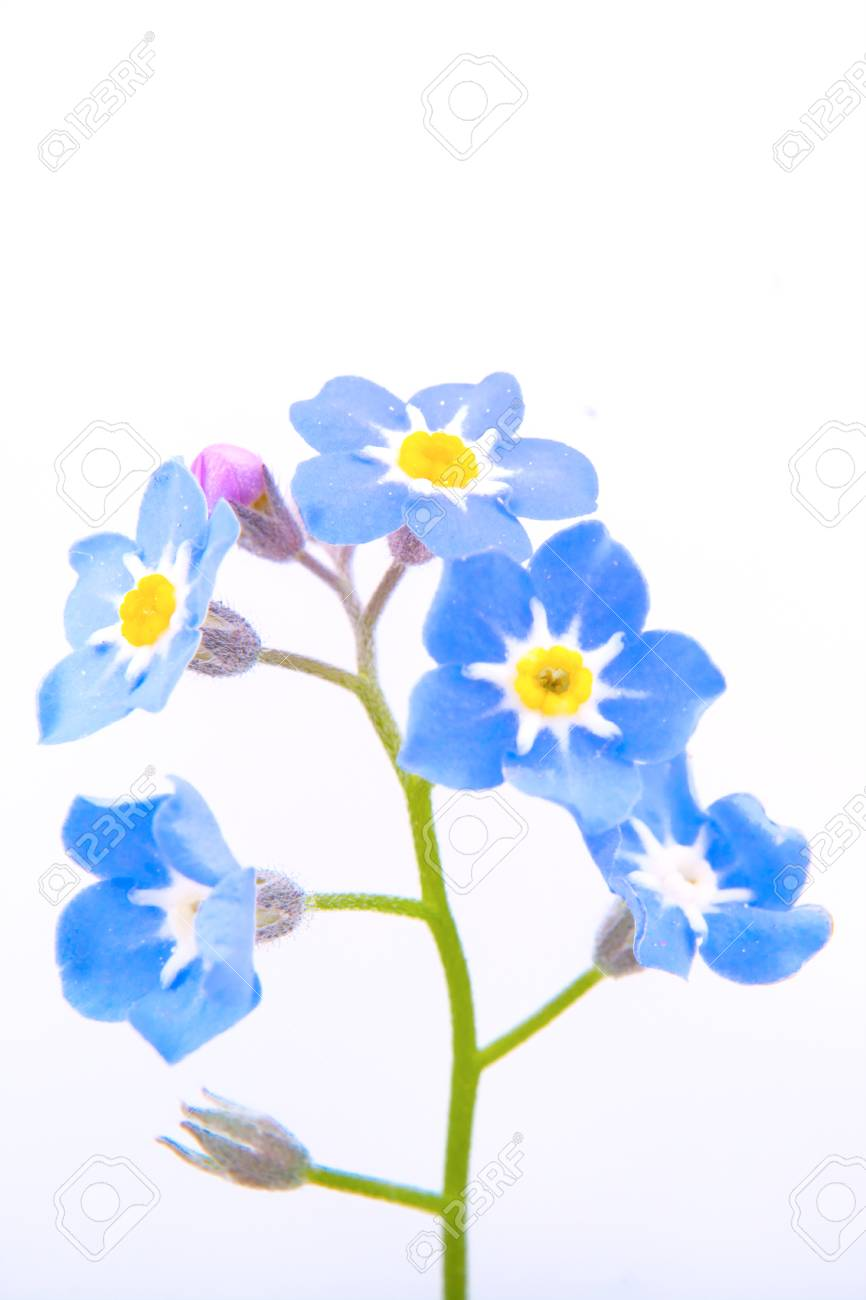 Blue Flower With Yellow Center On A White Background Stock Photo