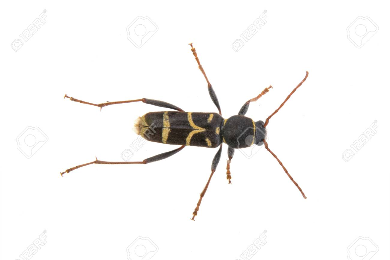 Yellow black bug isolated on a white background