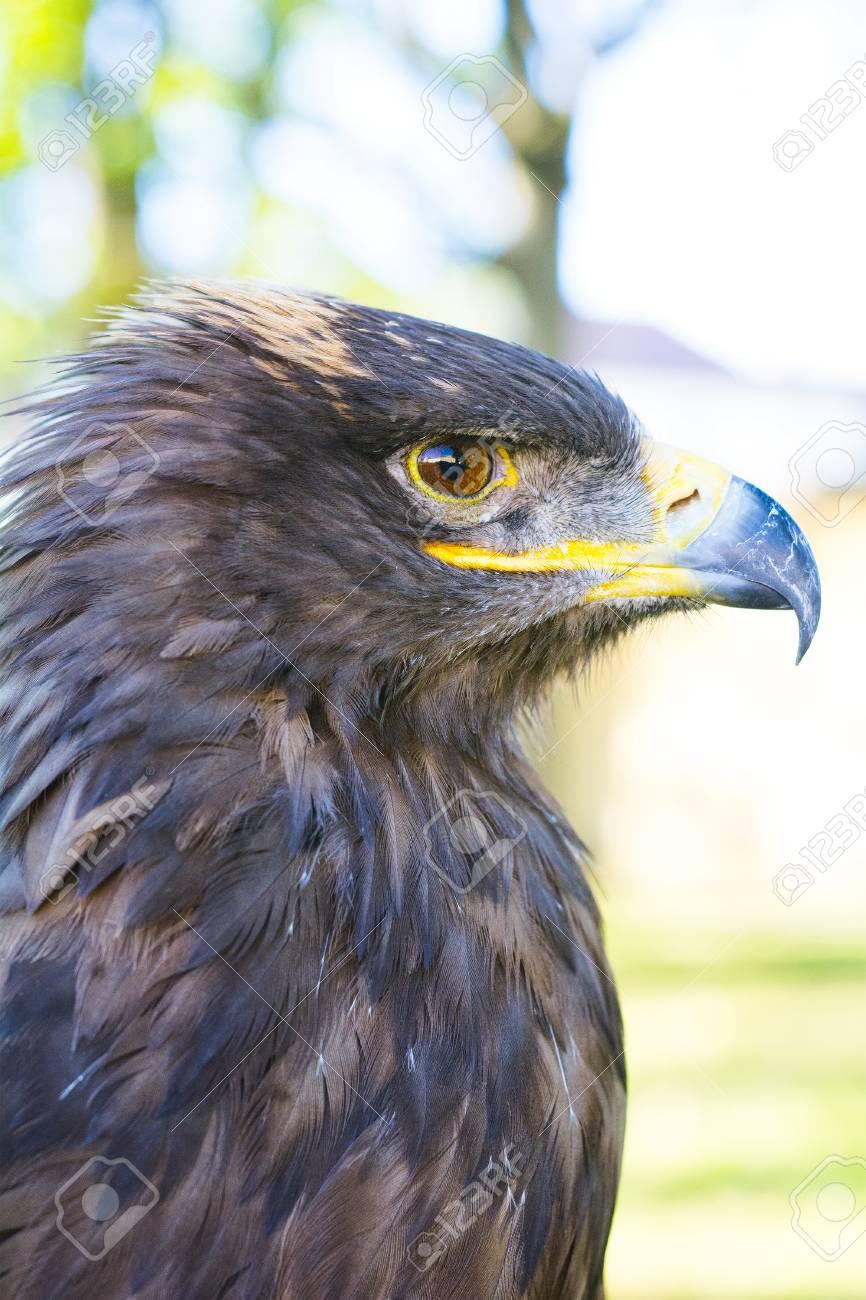 Increíble Colorear águila Dorada Ilustración - Dibujos de Animales ...