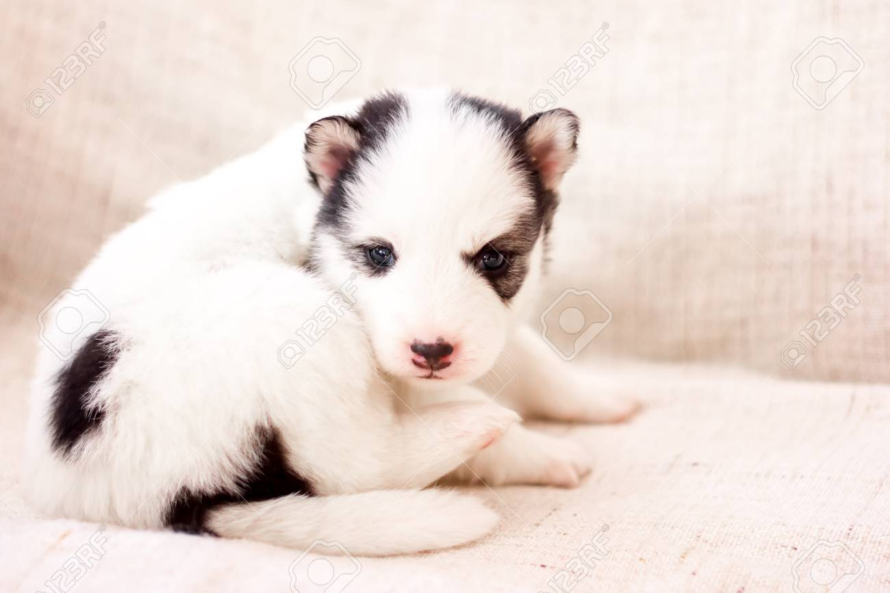 Cute Siberian Husky Puppy Black And White Piebald In Hands Stock Photo Picture And Royalty Free Image Image 95883522