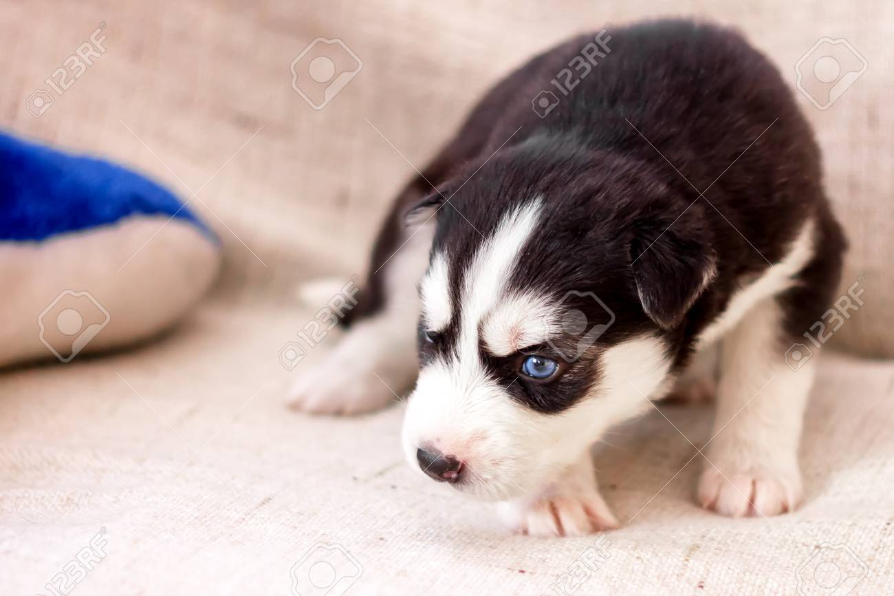 Cute Siberian Husky Puppy Black And White In Hands With Blue Stock Photo Picture And Royalty Free Image Image 97055352